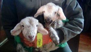 Maple Lane Farm - Baby Goats