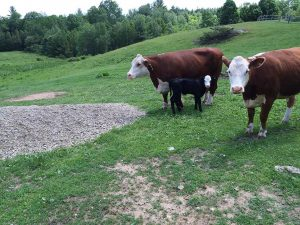 Maple Lane Farm - Cows