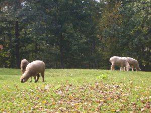 Maple Lane Farm - Sheep